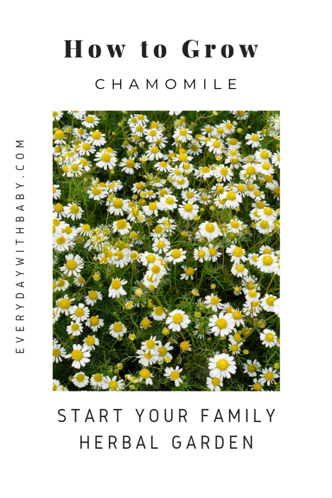 How to grow chamomile